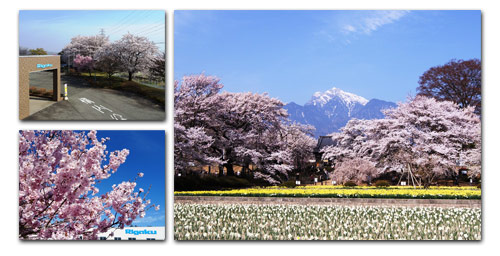 cherry blossom season at Yamanashi factory
