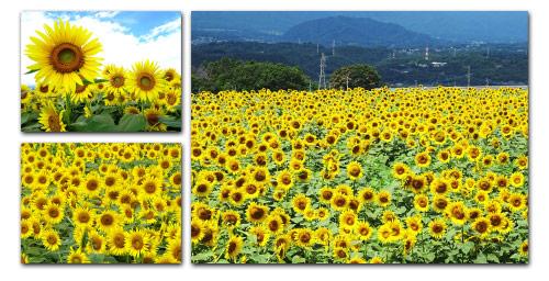 Sunflower field near Rigaku Yamanashi factory